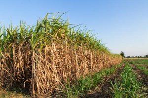 Canne a sucre pour ethanol